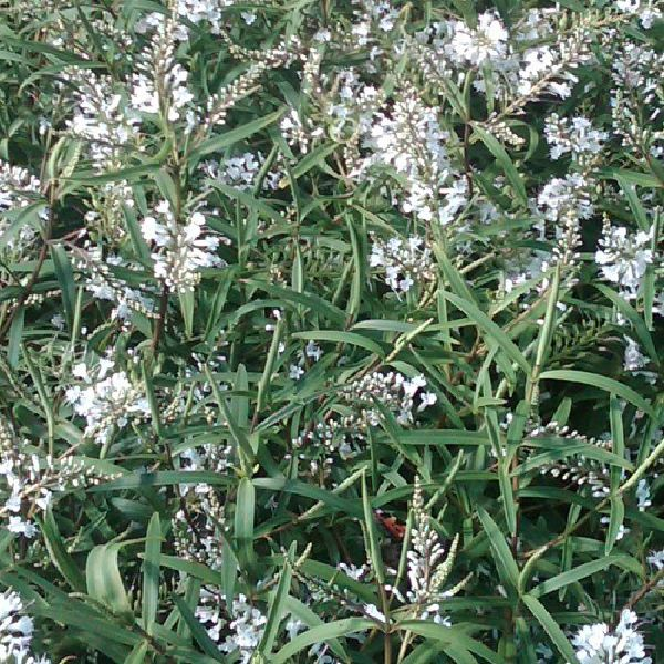 Watsons nurseries a small hardy evergreen shrub with narrow foliage and sprays of white fragrant flowers over a long period during the summer months mightylinksfo