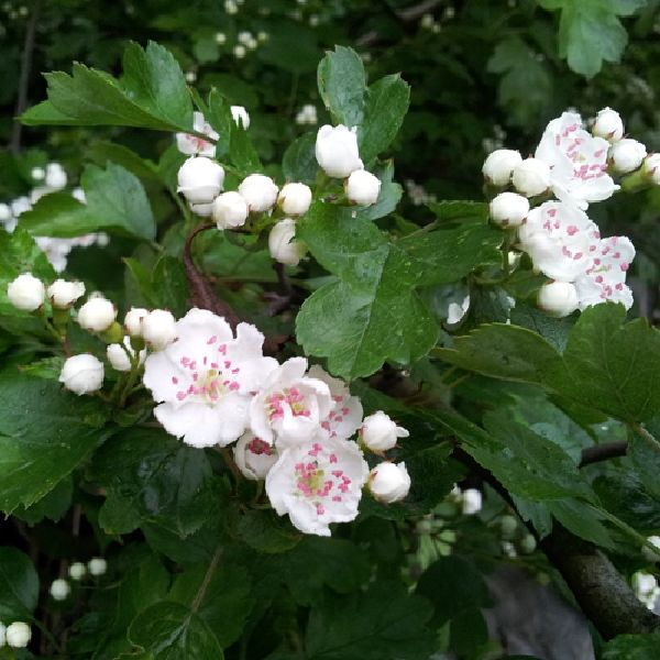 Watsons nurseries an upright rounded thorny deciduous tree with glossy green leaves which is smothered with tiny white fragrant flowers in late spring followed by masses mightylinksfo
