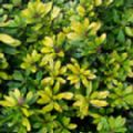 Escallonia laevis 'Gold Brian'