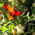 Arbutus unedo (Pink Strawberry Tree)