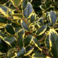 Ilex x altaclerensis 'Golden King' (Holly)