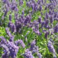 Lavandula angustifolia 'Munstead' (English Lavender)
