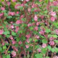 Ribes sanguineum 'King Edward VII' (Flowering Currant)