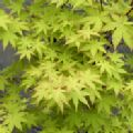Acer palmatum 'Summer Gold' (Japanese Maple)