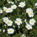Cistus monspeliensis (Montpelier Rock Rose)