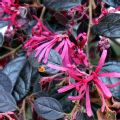 Loropetalum chinense 'Black Pearl' (Chinese Fringe Flower)