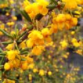 Berberis x stenophylla (Golden Barberry)